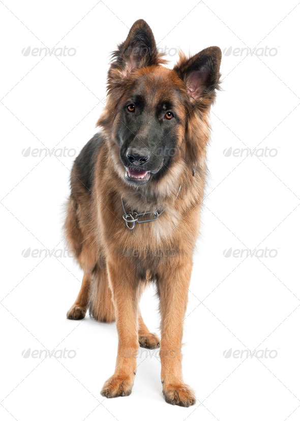 german shepherd (1 year old) - Stock Photo - Images