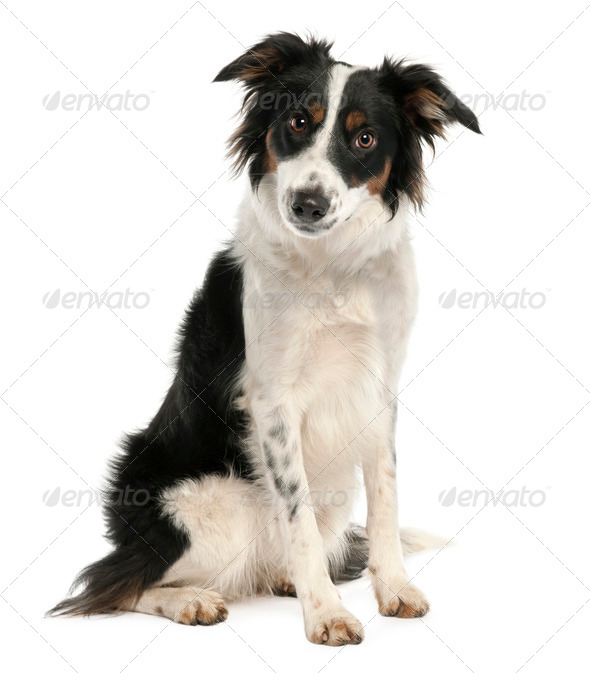 Border Collie (9 months old) - Stock Photo - Images