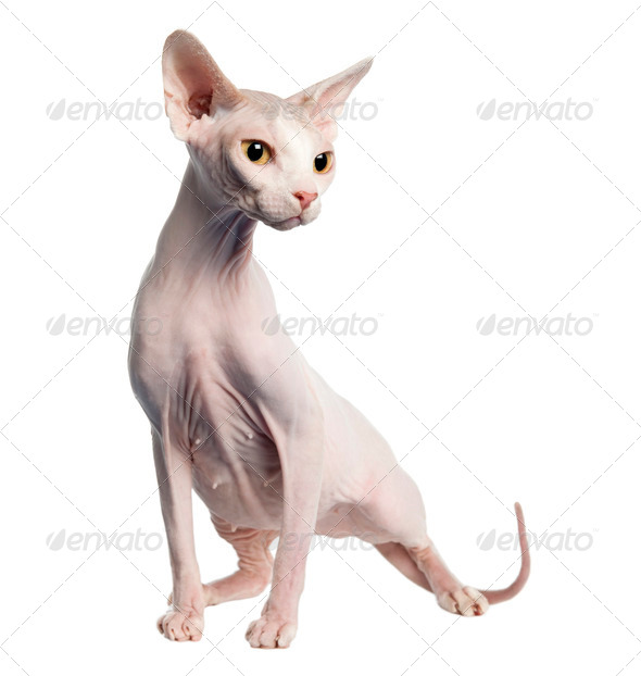 Sphynx (4 years old) - Stock Photo - Images