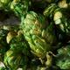 Raw Green Organic Fresh Beer Hops - PhotoDune Item for Sale