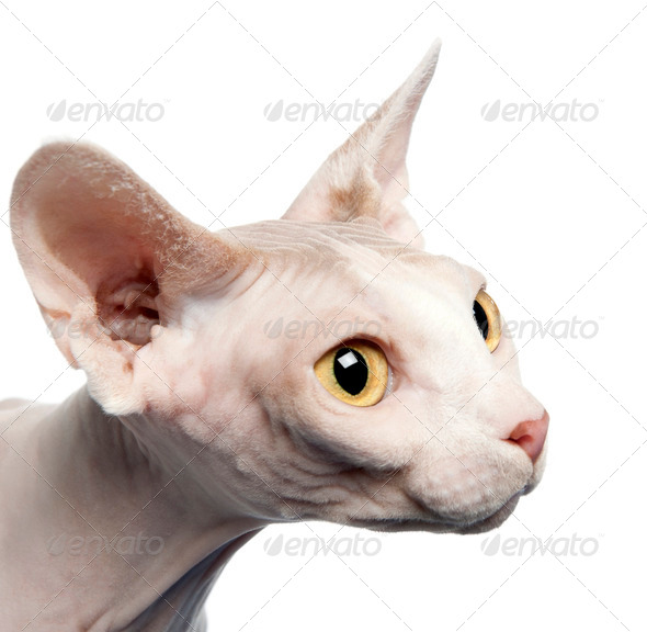 Side view of Sphynx cat, 4 years old, in front of white background, studio shot - Stock Photo - Images