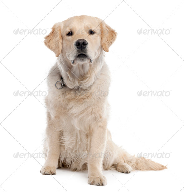 Golden Retriever (11 months old) - Stock Photo - Images