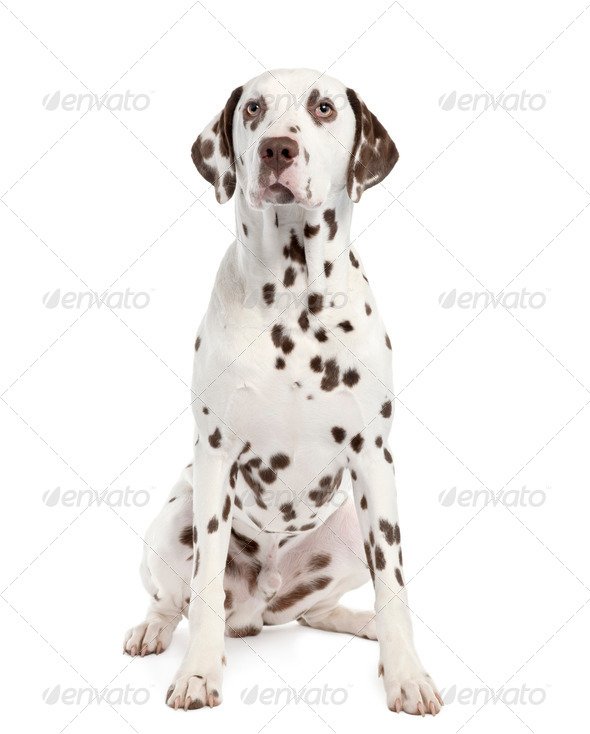 Dalmatian - Stock Photo - Images