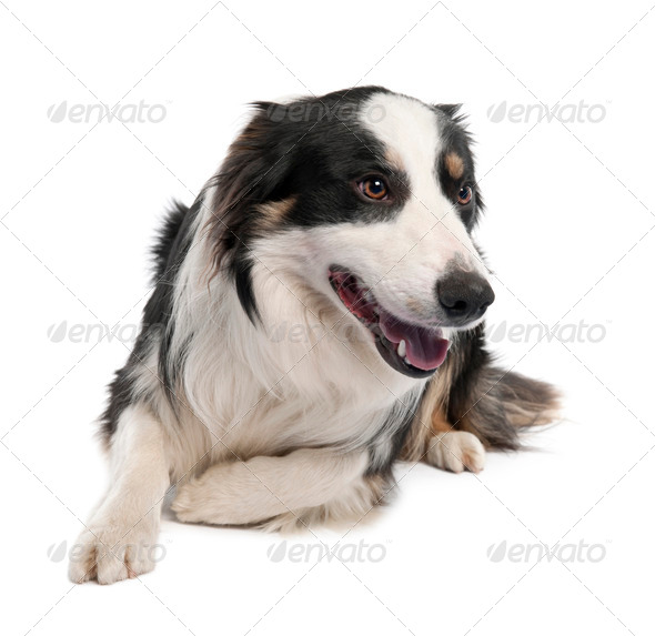 Border Collie (18 months old) - Stock Photo - Images