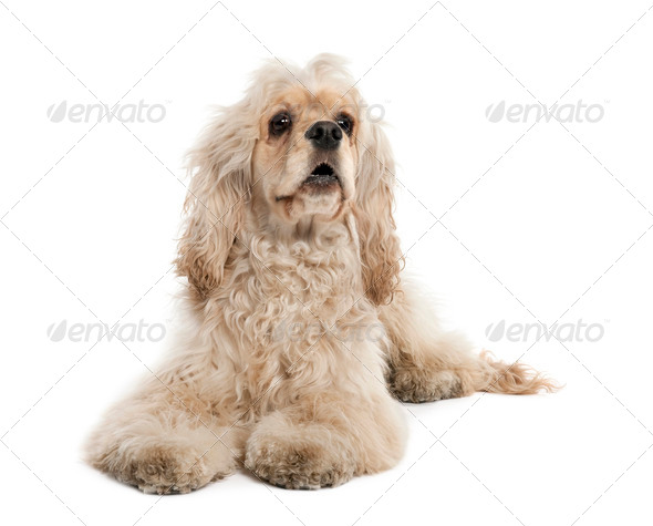 American Cocker Spaniel (9 months old) - Stock Photo - Images