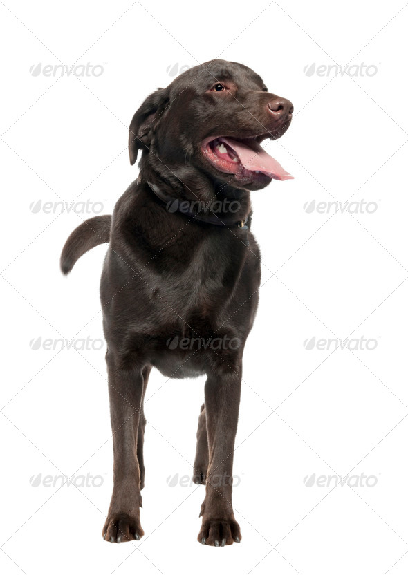 Labrador (3 years old) - Stock Photo - Images