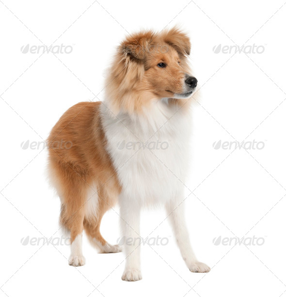 sheltie (5 months old) - Stock Photo - Images