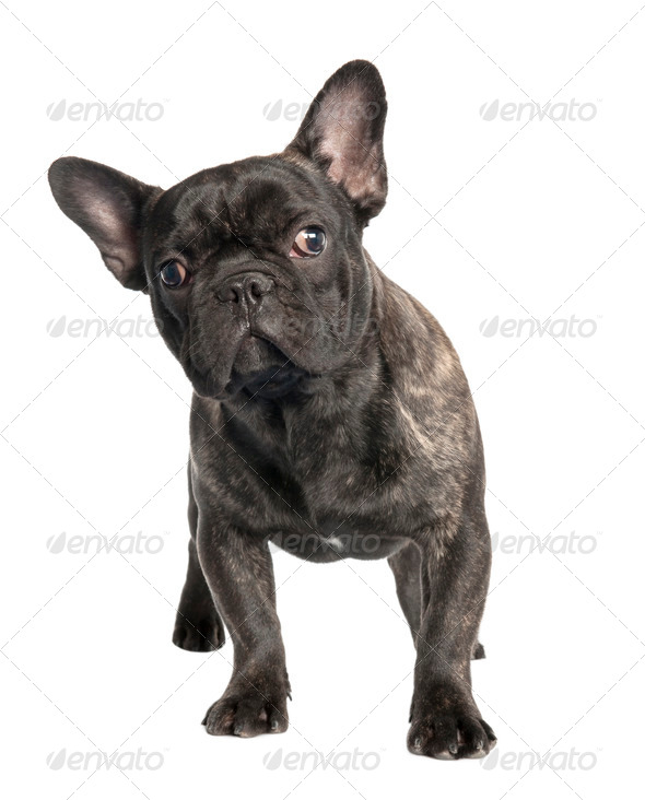 black french Bulldog - Stock Photo - Images