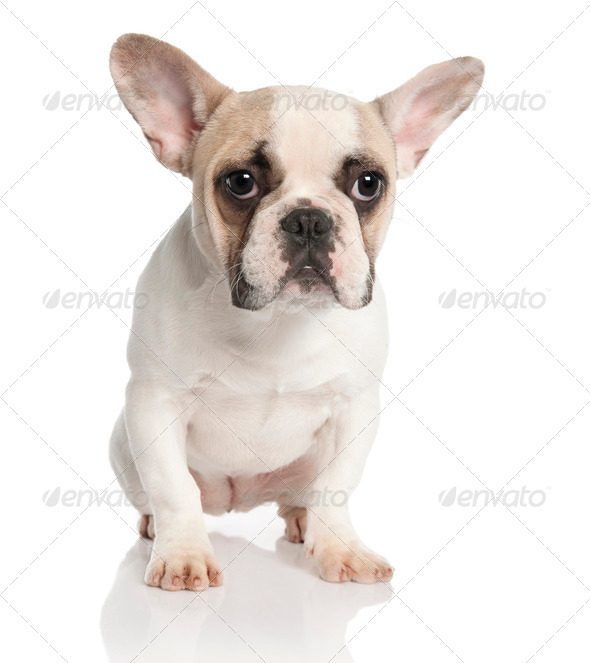 French Bulldog - Stock Photo - Images