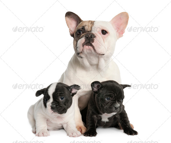Mother French Bulldog and her puppies (1 year old and 8 weeks old) - Stock Photo - Images