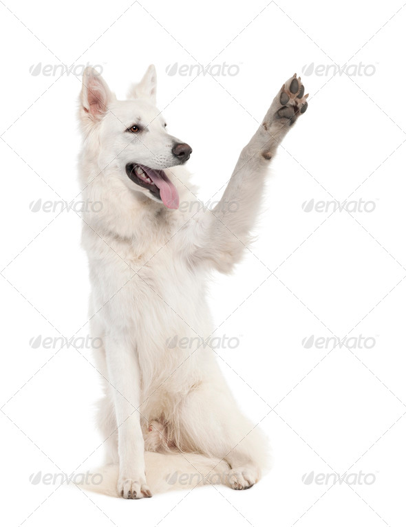 White Shepherd Dog (1 year old) - Stock Photo - Images