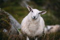 Adorable Mountain sheep in Norway mountains - PhotoDune Item for Sale