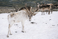 White Reindeer Stag in Snow - PhotoDune Item for Sale
