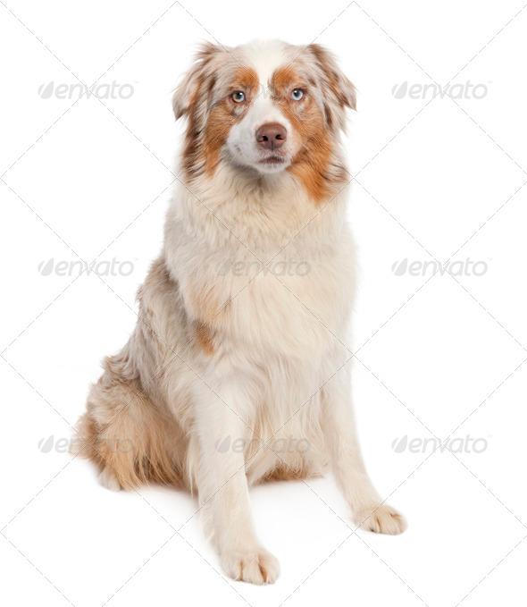 australian shepherd (3 years old) - Stock Photo - Images
