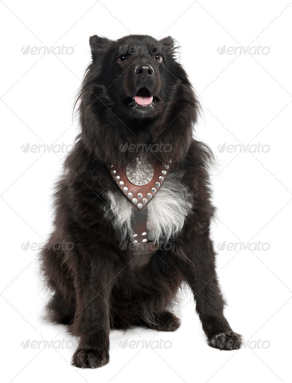 Mixed-Breed Dog between keeshond and a sheltie (6 years old) - Stock Photo - Images