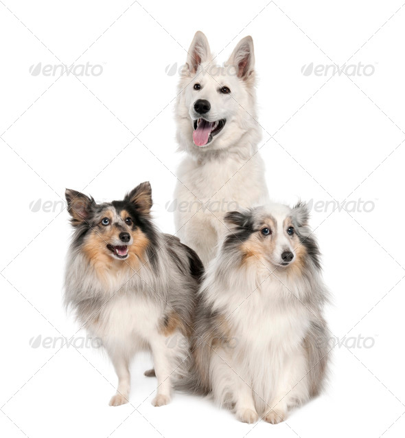group of a White Shepherd Dog and two shelties - Stock Photo - Images