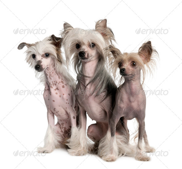 group of three Chinese Crested Dog - Hairless (3 years old) - Stock Photo - Images