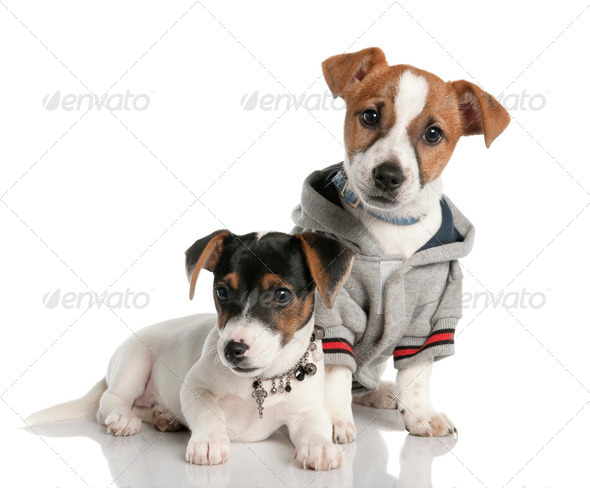 two Jack russell puppy (3 months old) - Stock Photo - Images