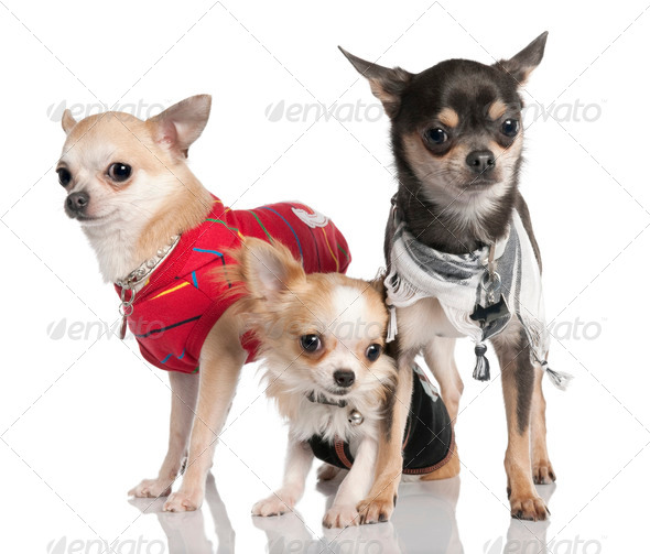 Group of three chihuahua - Stock Photo - Images