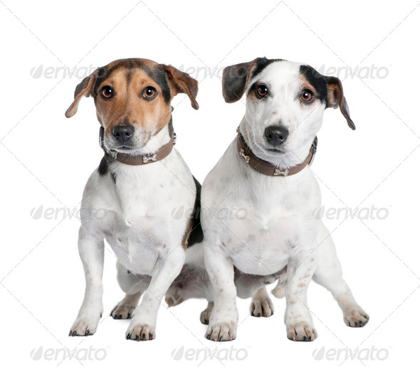 couple of two Jack russells (2 and 3 years old) - Stock Photo - Images