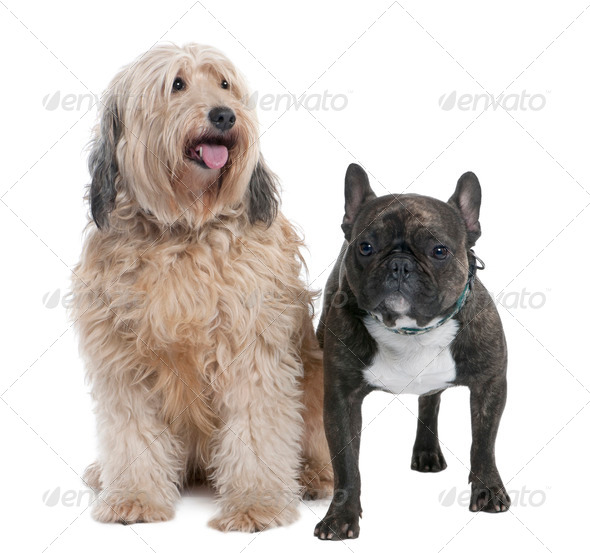 couple of a Mixed-Breed Dog and a french bulldog (7 and 2 years old) - Stock Photo - Images