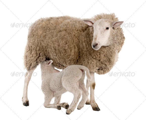 lamb suckling his mother (a ewe) - Stock Photo - Images