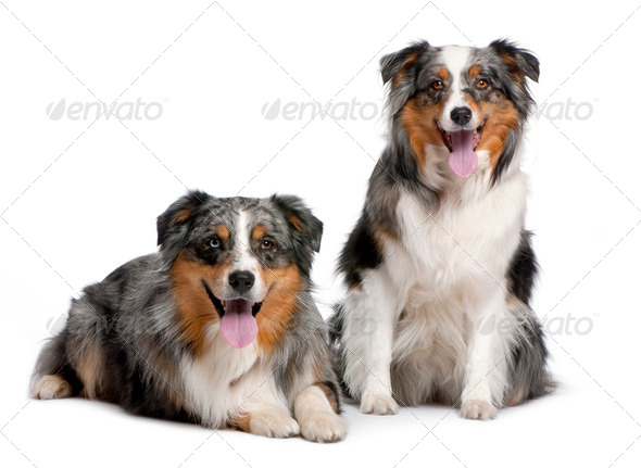 couple of two australian shepherd panting - Stock Photo - Images