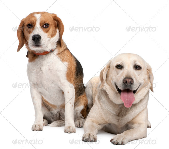 couple of a Labrador and a beagle - Stock Photo - Images