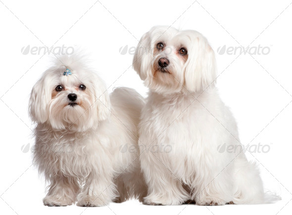 couple of two maltese dog - Stock Photo - Images