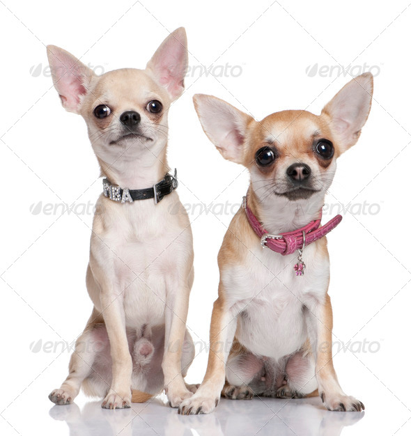chihuahuas - Stock Photo - Images