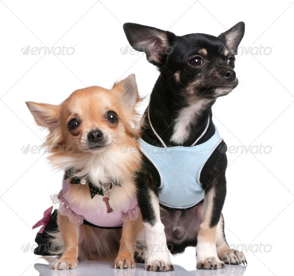 chihuahuas dressed-up - Stock Photo - Images