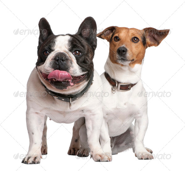 couple of Jack russell and french bulldog - Stock Photo - Images