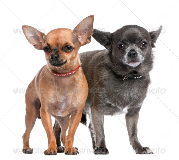Couple of chihuahua - Stock Photo - Images