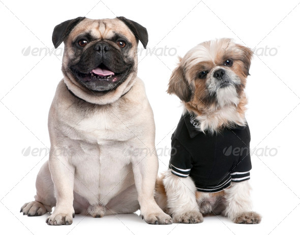 Couple of dogs : Shih Tzu dressed-up and a pug - Stock Photo - Images