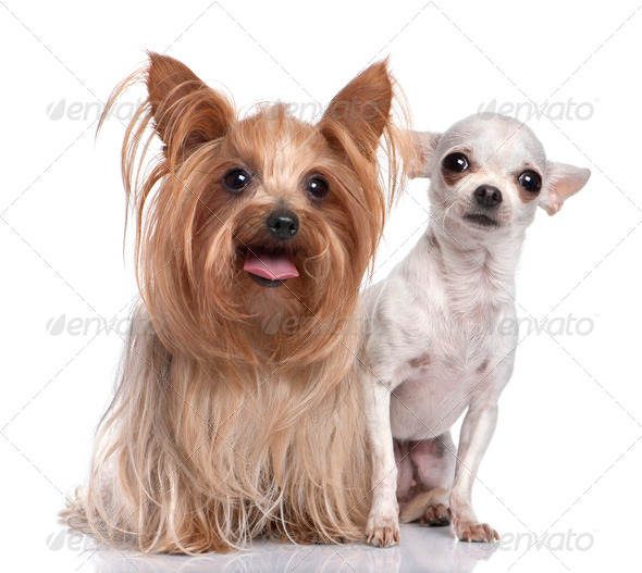 couple of dog : Yorkshire Terrier and chihuahua - Stock Photo - Images
