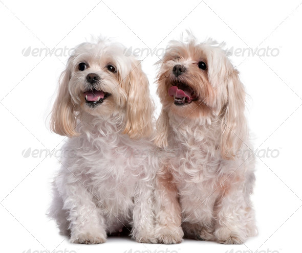 two maltese dog sitting and panting (11 years old) - Stock Photo - Images