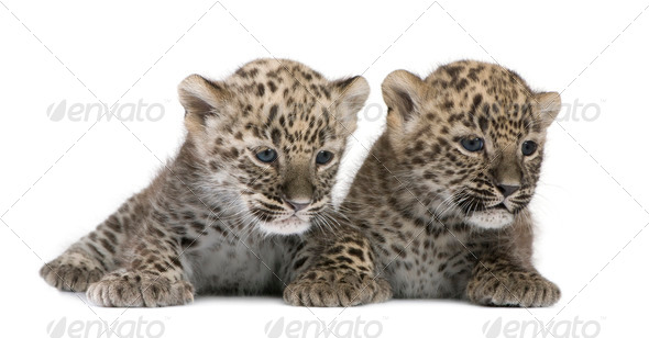 Persian leopard Cub (6 weeks) - Stock Photo - Images