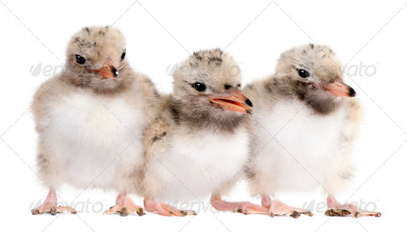group of three Common Tern chick in a row - Sterna hirundo (7 da - Stock Photo - Images