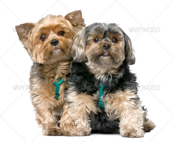 couple of Yorkshire Terrier, sitting (7 years old) - Stock Photo - Images
