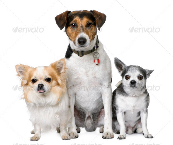 Goupe of dog: two chihuahua and a Jack russell - Stock Photo - Images