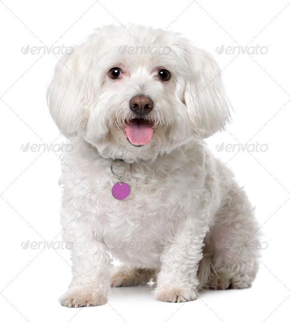 maltese dog (8 years old) sitting. - Stock Photo - Images
