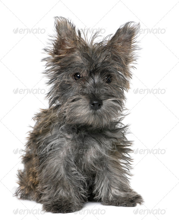 black Yorkshire Terrier puppy sitting - Stock Photo - Images