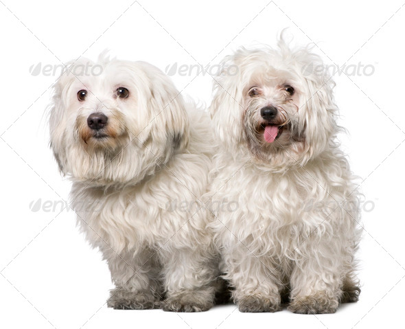 couple of two maltese dog (4 years old) - Stock Photo - Images