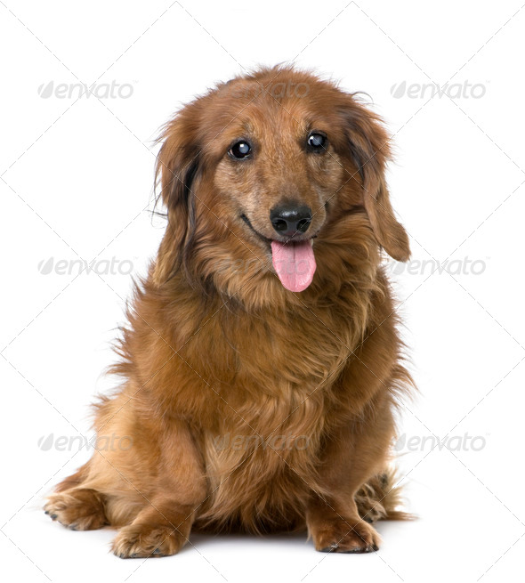 old sightless dog : Dachshund (15 years old) - Stock Photo - Images