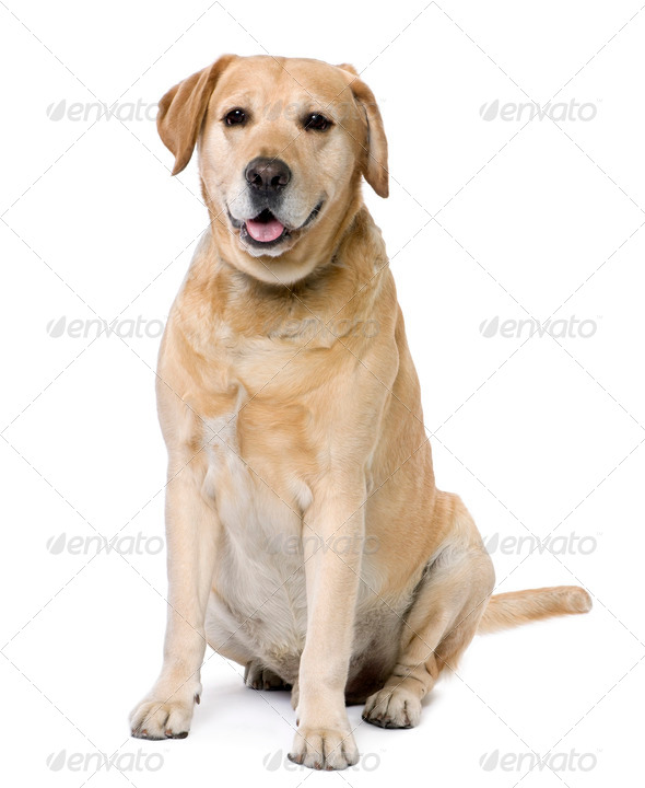 Labrador sitting (6 years old) - Stock Photo - Images