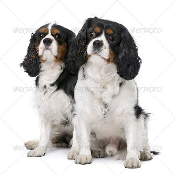 Couple of two Cavalier King Charles Spaniel (4 and 6 years old) sitting - Stock Photo - Images