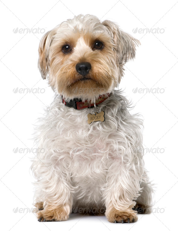 Yorkshire Terrier (1 year old) sitting - Stock Photo - Images