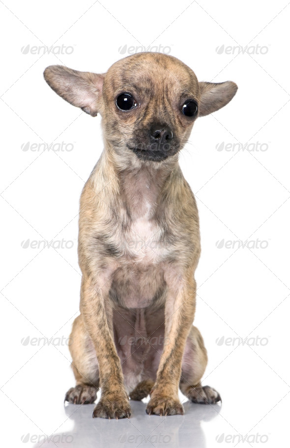 chihuahua puppy (7 month old) sitting - Stock Photo - Images