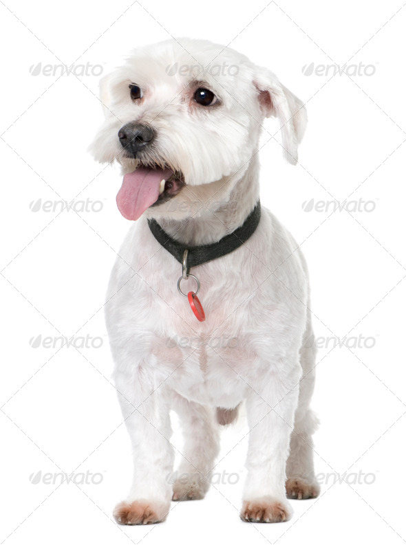 maltese dog (12 years old) - Stock Photo - Images