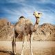 Camel - PhotoDune Item for Sale